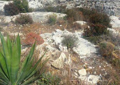 aloe-plants-and-maltese-aromatic-erbs-qrendi
