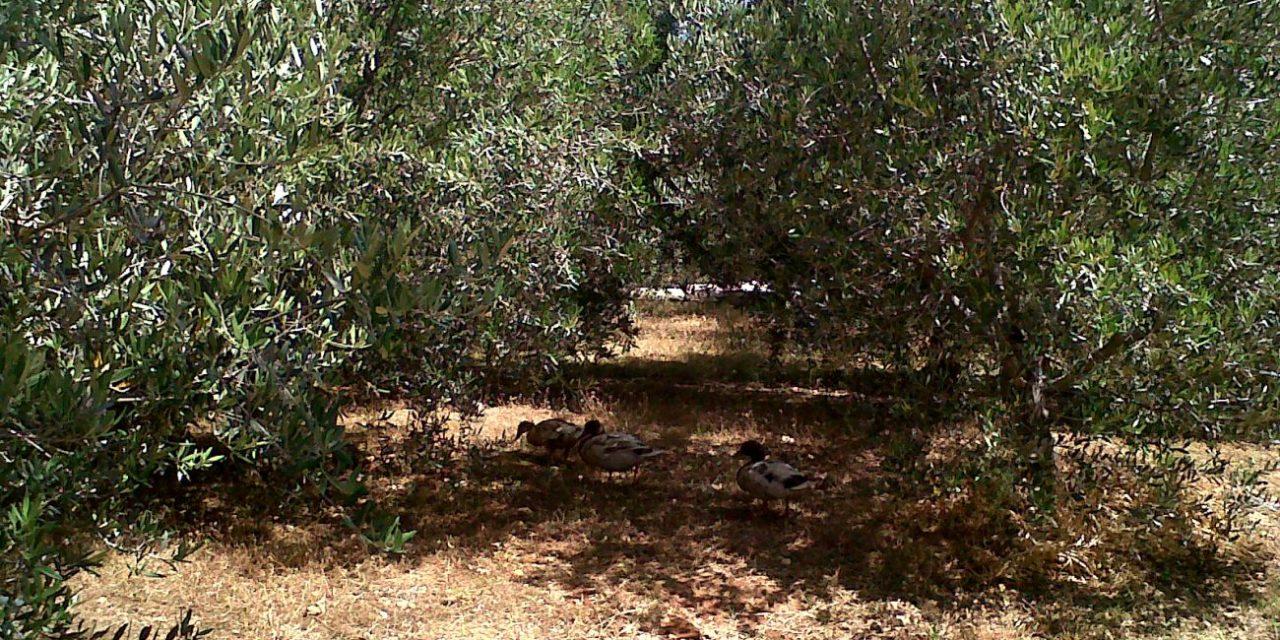 Sammy Cremona, save the Maltese olives